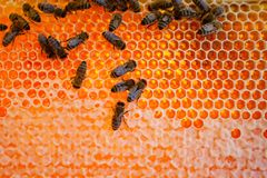 Worker bees Royalty Free Stock Photo