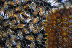 Worker bees in the beehive Royalty Free Stock Images