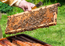 Worker bees Royalty Free Stock Photography