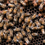 Worker bees Royalty Free Stock Images
