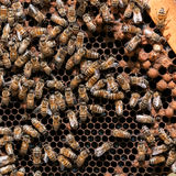 Worker bees Stock Image