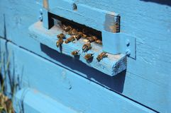 The worker bees in the hive blue Royalty Free Stock Image