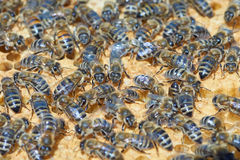 Worker bees on honeycomb Royalty Free Stock Photo