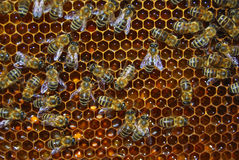 Worker bees Stock Photography