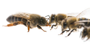 Worker bees and the queen apis mellifera Stock Photos