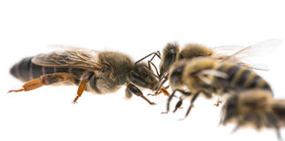 Worker bees and the queen apis mellifera Stock Image