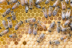 Worker bees tend brood. Worker bees tend larva on a drawn plastic foundation frame of capped and open brood stock image