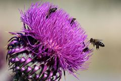 Wild flower of silybum marianum with bees stock images