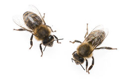 Worker bees. Isolated on a white background Stock Photos