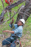 Worker being Hoisted up into a Tree. A worker with tools secured to his harness  is being pullled up into a tree by  a crane in preparation to cut the tree Royalty Free Stock Images