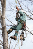 Worker being Hoisted up into a Tree. A worker is climbing a tree with the aid of a crane and climbing spikes in preparation to cut the tree. His tools and Stock Photography