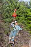 Worker being Hoisted up into a Tree. A worker is being pullled up into a tree by  a crane in preparation to cut the tree. His tools and chainsaw are hanging from Stock Images