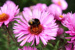 Worker bumblebee. Bumblebee collecting nectar in late autumn on the beautiful purple flower Stock Photo