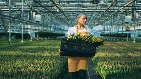 Worker carries a basket full of tulips while walking in a greenhouse with flowers. stock footage