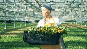 A worker carries a basket with yellow tulips, looking at flowers. stock video footage