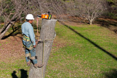 Worker with Chainsaw. While strapped to the tree and with his tree climbing spikes dug in, a worker has just finished cutting through the tree trunk. The crane Royalty Free Stock Images