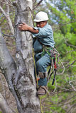 Worker with Chainsaw Climbing a Tree. A worker wearing tree climbing spikes climbs a tree with tools and a chainsaw hanging from his harness preparing to cut off Stock Image