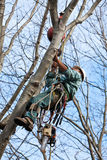 Worker with Chainsaw Climbing a Tree. A worker wearing tree climbing spikes; with tools and a chainsaw hanging from his harness, is climbing a tree with the aid Royalty Free Stock Photography