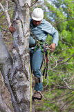 Worker with Chainsaw Climbing a Tree. A worker wearing tree climbing spikes climbs a tree with tools and a chainsaw hanging from his harness preparing to cut off Royalty Free Stock Image