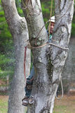 Worker with Chainsaw Cutting a Tree. With his tree climbing spikes dug into the trunk of the tree, a worker is supported securely while cutting it with a Royalty Free Stock Image