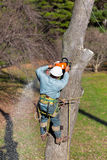 Worker with Chainsaw Cutting a Tree. A worker is strapped securely to a tree trunk with his tree climbing spikes locked in firmly while cutting the trunk with Stock Photography