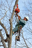Worker with Chainsaw in a Tree. A worker high in a tree attaching the crane cable before cutting the tree. A chainsaw and tools are hanging from his harness and royalty free stock photos