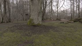 Worker with chainsaw walking around big tree in park. In autumn day stock video footage