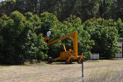Worker in cherry picker picking fruit avocados in orchard Royalty Free Stock Photos