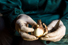 Worker cleans  the daffodil's  bulb Stock Images