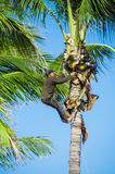 Worker climbing palm tree Royalty Free Stock Photo