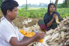 Worker collecting corn harvest, Thakurgaon, Bangladesh. Maize bhutta a CEREAL crop, Zea mays of the family Graminae, order Cyperales. In the Bangladesh it is royalty free stock images