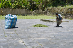 Worker collecting the dried coca leaves in a big sack at the Coca Leaves Depot in Chulumani Stock Photography