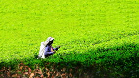 Worker collecting tea in sri lanka stock footage