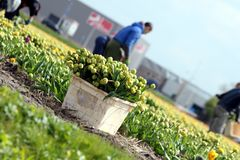 Worker collecting tulip flowers 3 Royalty Free Stock Image