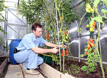 The worker collects tomatoes in the greenhouse. Of transparent polycarbonate Stock Photography