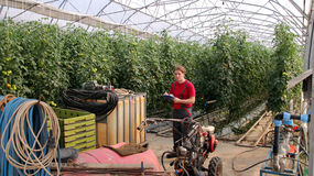 Worker in Commercial Greenhouse Stock Image