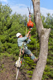 Worker connecting a cable to tree trunk. A worker is hanging from a rope attached to the crane cable with his climbing tree spikes locked into the tree trunk Royalty Free Stock Image