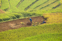 Worker on the cornfield royalty free stock images