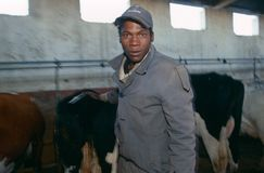 Worker in a cow barn, South Africa Royalty Free Stock Photos