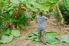 Worker is cutting banana leaves Royalty Free Stock Image