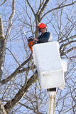 Worker cutting maple tree royalty free stock image