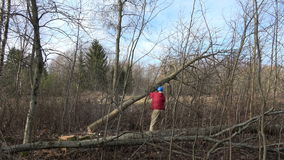 Worker cutting maple tree in spring forest with chainsaw stock video footage