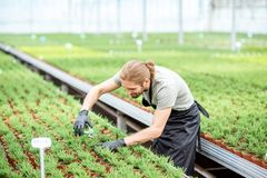 Worker with plants in the greenhouse. Worker cutting with scissors tops of plants for better growing in the greenhouse of plant production Royalty Free Stock Photography