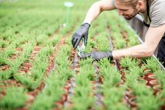 Worker with plants in the greenhouse. Worker cutting with scissors tops of plants for better growing in the greenhouse of plant production Stock Images