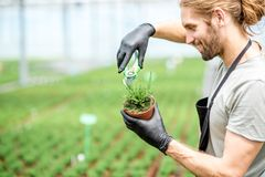 Worker with plants in the greenhouse. Worker cutting with scissors tops of plants for better growing in the greenhouse of plant production Stock Image