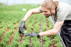 Worker with plants in the greenhouse. Worker cutting with scissors tops of plants for better growing in the greenhouse of plant production Stock Photography