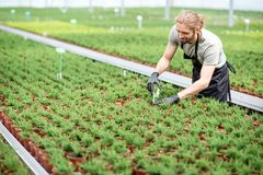 Worker with plants in the greenhouse. Worker cutting with scissors tops of plants for better growing in the greenhouse of plant production Stock Photos