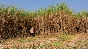 Worker cutting sugar cane stock footage