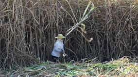 Worker cutting sugar cane stock video footage