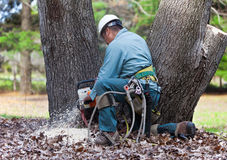 Worker Cutting Tree with Chainsaw. A worker is kneeling at the base of a tree cutting through the trunk. His tools and ropes are prominently hanging from his Stock Photos